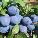 sadnice voca sljive čačanska najbolja