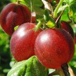 Vocne sadnice ogrozda crveni