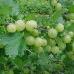 vocne sadnice zelenog ogrozda hinnomaki gron