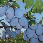 vocne sadnice sljive stenlej