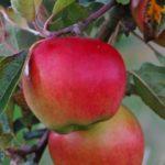 Sadnice voca jabuka prima