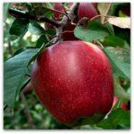 Sadnice voca jabuka budimka