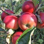 Sadnice voca jabuka kozara