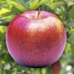 vocne sadnice jabuke jonagold