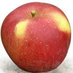 Vocne sadnice jabuka melrouz