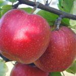 vocne sadnice jabuke ajdared