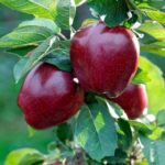 Vocni rasadnik jabuka red čif