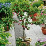 Mini vocne sadnice Višnje