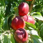Sadnice nektarine Caldesi-2000