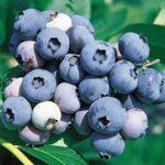 Vocne sadnice borovnice Jersey