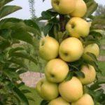Stubaste vocne sadnice jabuke Djerdan