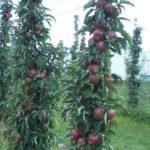 Stubaste vocne sadnice jabuke Vesna