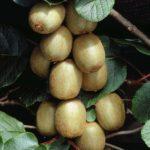 Vocne sadnice kivi Hejvord