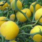 Voćne sadnice limuna Mesecar