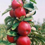 Vocne sadnice stubaste jabuke Polka