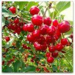 Voćne sadnice višnje Oblacinska